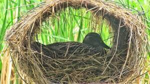 Nesting divorce